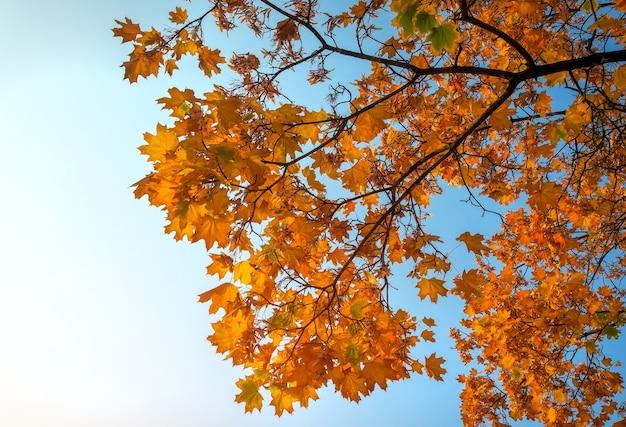 Mooie gele en rode kleurrijke herfst esdoorn bladeren