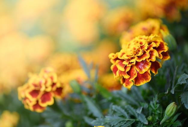 Mooie gele en rode mexicaanse goudsbloembloem