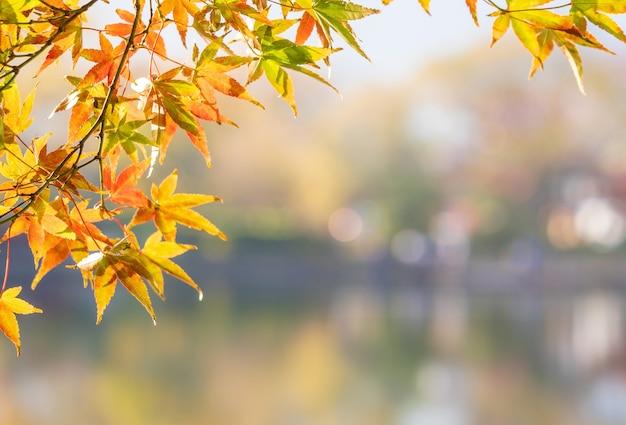 Mooie gele esdoorn bladeren op een herfstdag