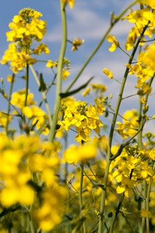 Mooie gele koolzaadbloemen in de lente