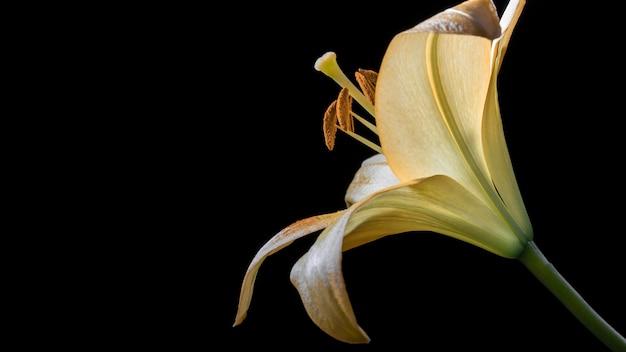 Mooie gele leliebloem