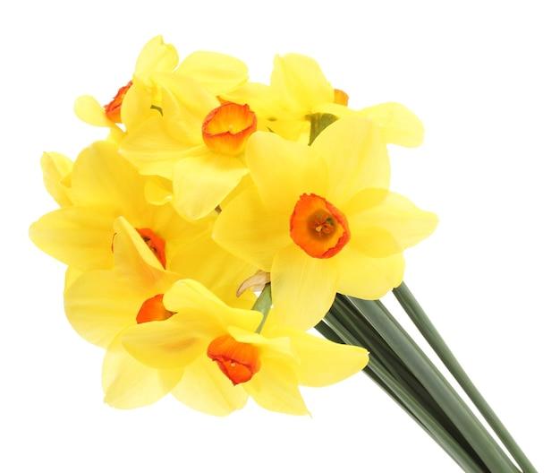 Mooie gele narcissen geïsoleerd op wit Premium Foto
