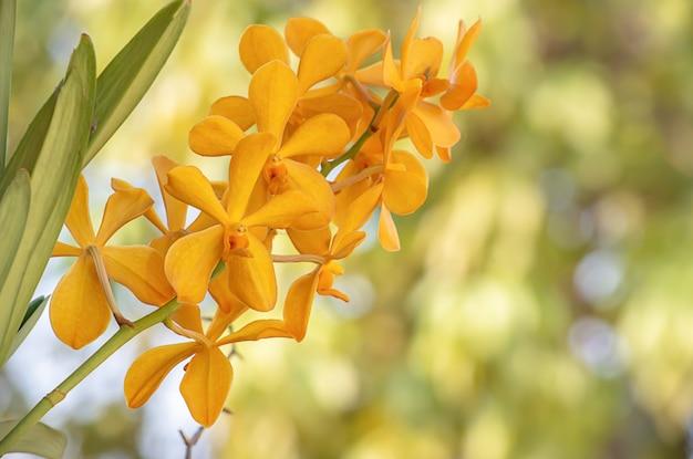 Mooie gele orchidee achtergrond wazig bladeren in de tuin.