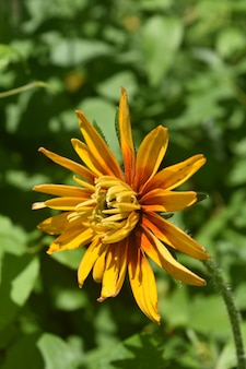Mooie gele ossenoog daisy bijna in volle bloei