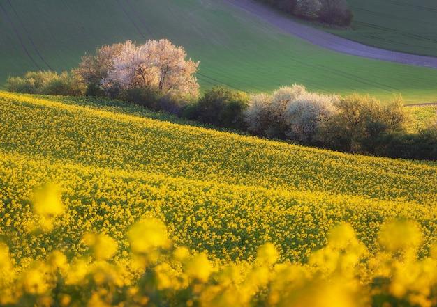 Mooie gele raapzaadvelden met bloeiende bomen bij zonsondergang. zuid moravië