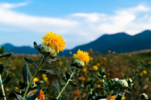 Mooie gele safflowe op aardachtergrond, carthamus-tinctorius