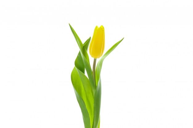 Mooie gele tulp die op wit wordt geïsoleerd