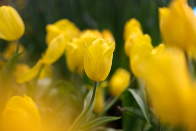 Mooie gele tulpenbloemen in tuin