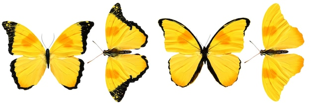 Mooie gele vlinders geïsoleerd op een witte achtergrond. vier tropische motten
