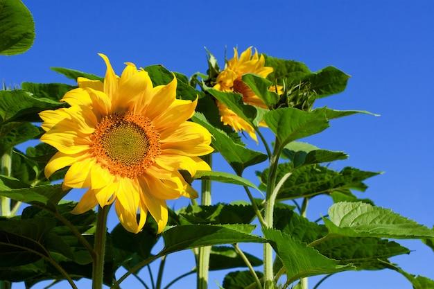 Mooie gele zonnebloem op een blauwe hemel