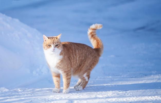 Mooie gember rode kat in de sneeuw. zonnige winterdag buitenshuis
