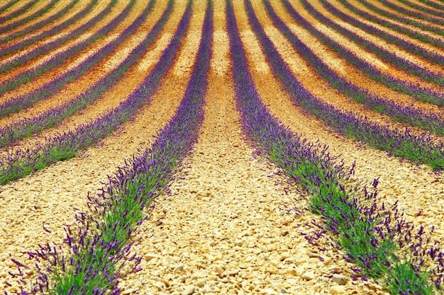 Mooie geometrie van lavendelveld