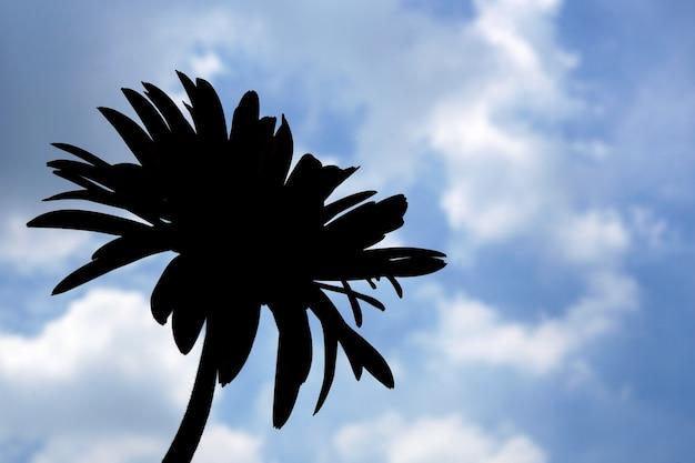 Mooie gerbera gerbera jamesonii bloem in tegenlicht met wolken op blauwe hemelachtergrond