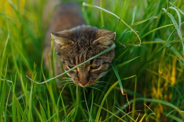 Mooie gestreepte kat met groene ogen jagen in het gras in het park.