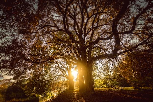 Mooie getinte foto van de zon die door een grote boom schijnt in het herfstbos