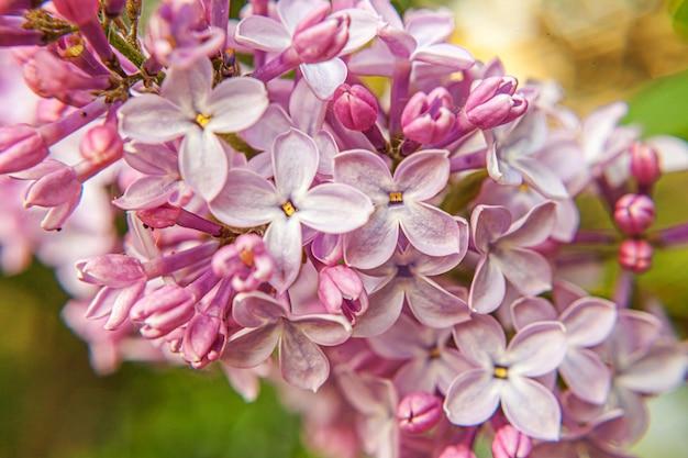 Mooie geur violet paars lila bloesem bloemen in het voorjaar. sluit macro omhoog takjes van lilac selectieve nadruk. inspirerende natuurlijke bloemen bloeiende tuin of park. ecologie natuur landschap