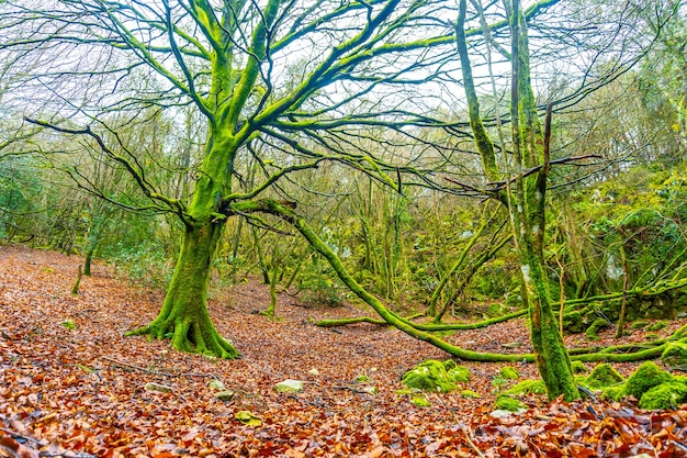 Mooie gigantische boom met groen mos op de berg arno in de gemeente mutriku in gipuzkoa. baskenland, spanje