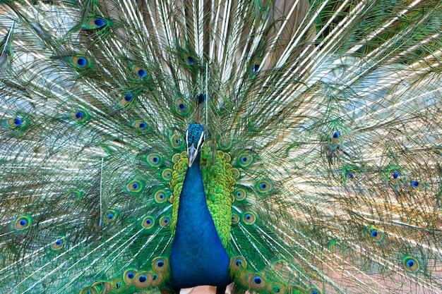Mooie goed verzorgde mannelijke pauw, spreidt zijn staart uit, luxe staart, flirt met een vrouwtje
