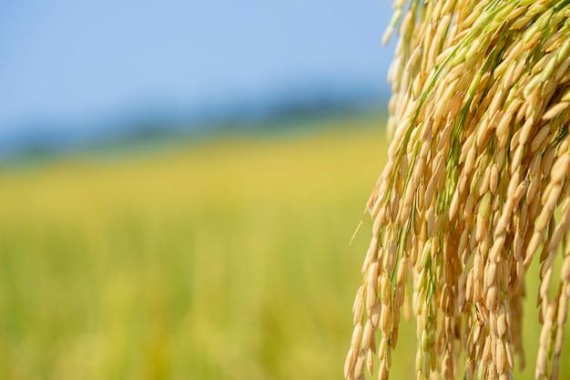 Mooie gouden rijst, de producten die boeren van plan zijn voor consumenten. heb ruimte om tekst in te voeren