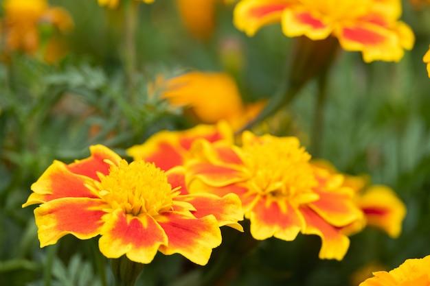 Mooie goudsbloemenbloemen bloeien in de tuinaard .. (afrikaantje erecta, mexicaanse goudsbloem, afrikaanse goudsbloem)