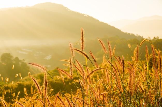 Mooie grasbloem (poaceae) met zonsopgang onscherpe achtergrond in de zomer