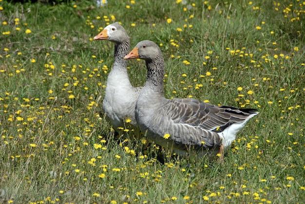 Mooie grauwe ganzen lopen op het veld vol bloeiende gele bloemen