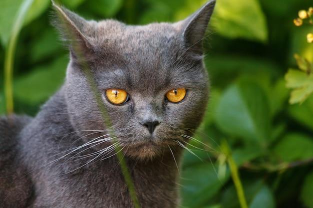 Mooie grijze britse shorthair-kattenzitting in het gras in de zomertuin
