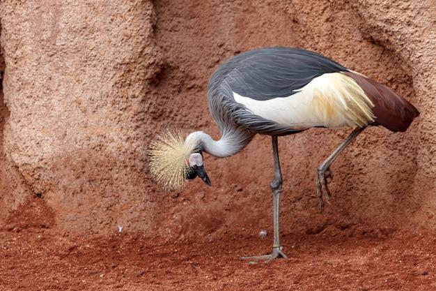 Mooie grijze gekroonde kraanvogel (grus grus)
