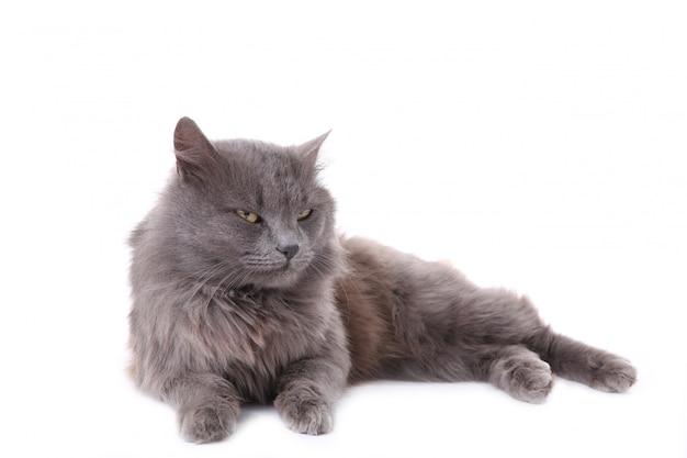 Mooie grijze kat die op een wit wordt geïsoleerd