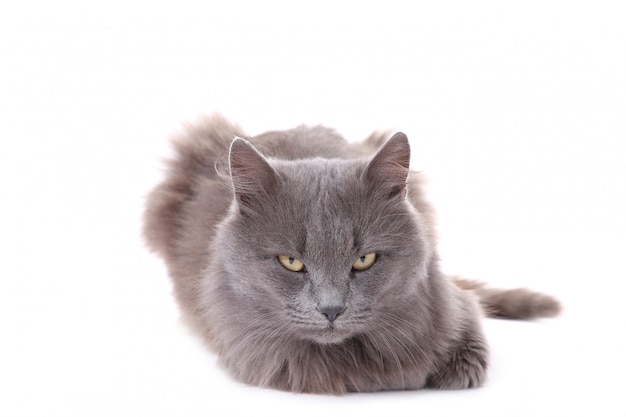 Mooie grijze kat die op een witte achtergrond wordt geïsoleerd