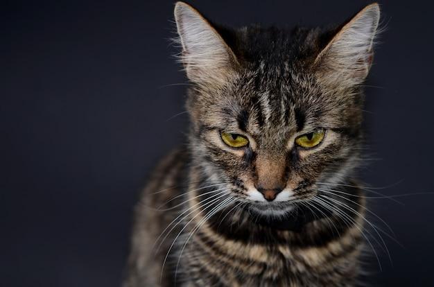 Mooie grijze kat met gele ogen