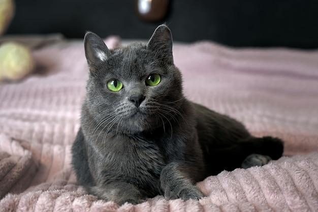 Mooie grijze kat met groene ogen ligt op de bank