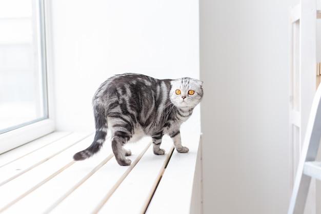 Mooie grijze schotse kat loopt behoedzaam rond een nieuwe witte vensterbank