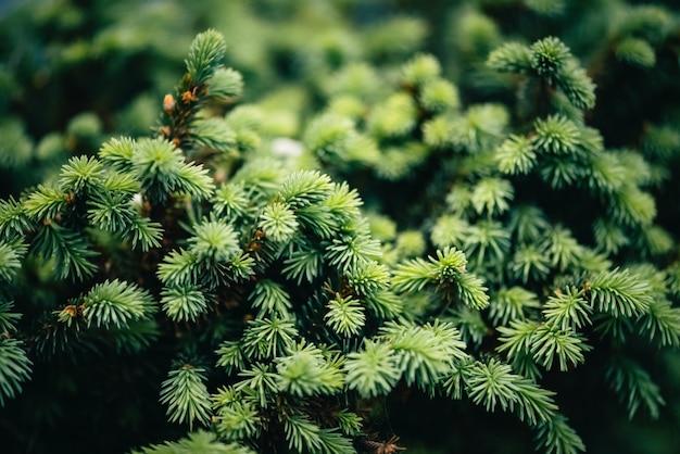 Mooie groenblijvende tak van kerstboom close-up. groene naalden kleine naaldboom met exemplaarruimte. fragment van kleine spar is nauw. groenachtige natuurlijke nette textuur in macro.