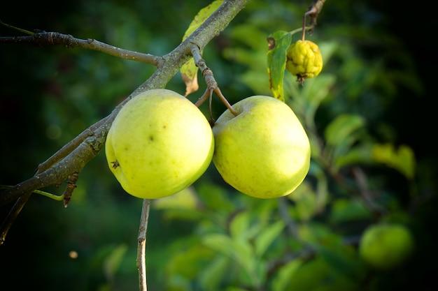 Mooie groene appels op een boom