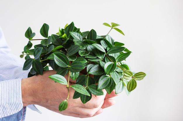 Mooie groene binnenbloem in een pot in mannelijke handen op een witte muurachtergrond