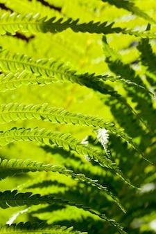 Mooie groene bladeren van een varen in zonnig licht, zomerseizoen