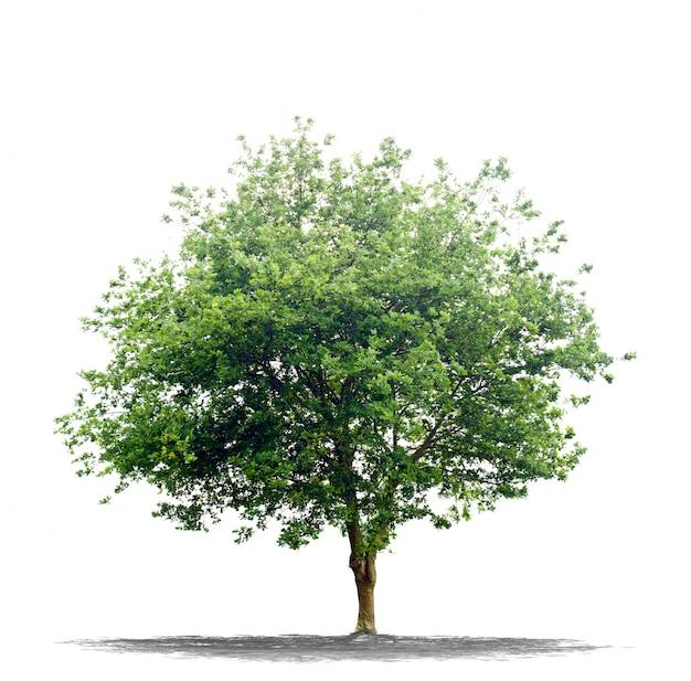 Mooie groene boom die op wit wordt geïsoleerd