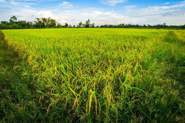Mooie groene cornfield met de achtergrond van de zonsonderganghemel