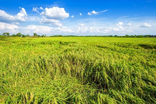 Mooie groene cornfield met pluizige wolkenhemel achtergrond.