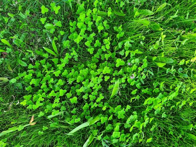 Mooie groene gras en klaver achtergrond