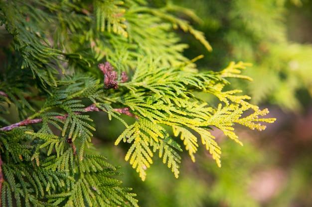 Mooie groene kerstbladeren van thuja-bomen met zacht zonlicht. thuja takje, thuja occidentalis is een groenblijvende naaldboom. gouden thuja