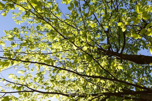 Mooie groene lichtgroene zonlicht verlichte bladeren op boomtakken in de herfst