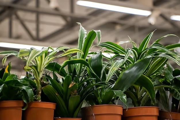 Mooie groene planten in potten close-up.