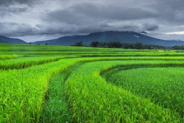 Mooie groene rijstterrassen in de ochtend in bengkulu utara