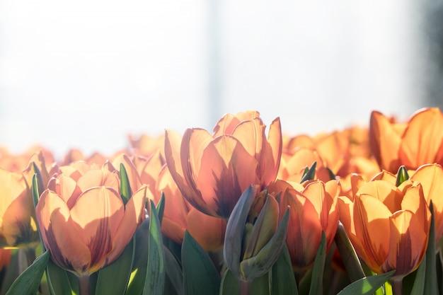 Mooie groep oranje tulpen