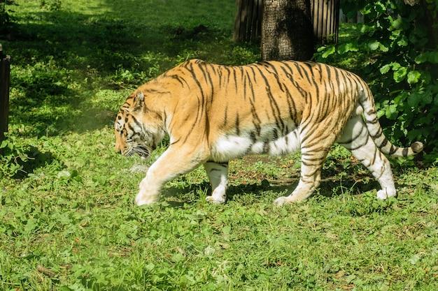 Mooie grote gestreepte tijger op groen gras