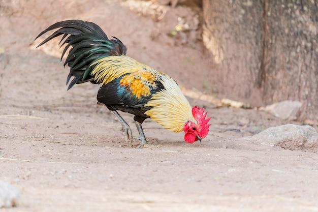 Mooie haan (mannelijke kip) op een aardachtergrond