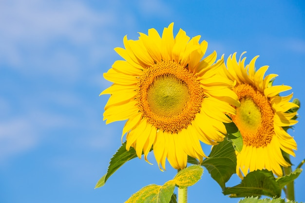Mooie heldere gele zonnebloem aan de hemel