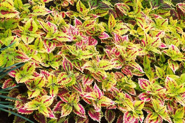 Mooie heldere rode groene bonte muts, zoals coleus, coleus blumei